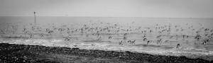 A flock of oystercatchers at Huntstanton Beach. February 16, 2015